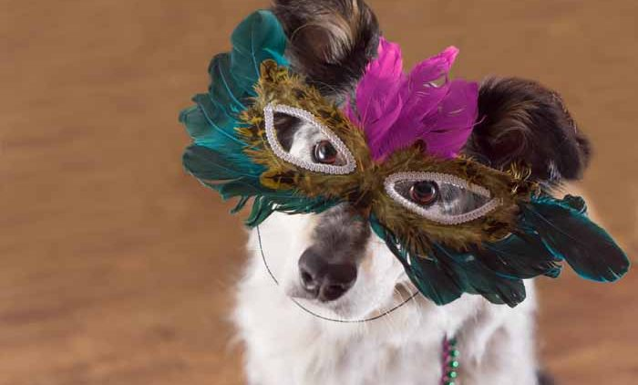 Border Collie / Australian shepherd mix dog wearing mradi gras feather mask masquerade costume and bead necklace in observance celebration of carnival mardi gras looking at camera and ready to party have fun celebrate