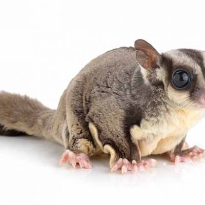 Sugar Glider on white background
